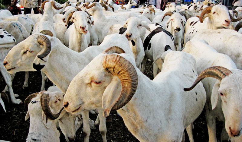 Rareté du mouton à quelques jours de la Tabaski: la peur s'empare des ménages, le ministre de l'élevage rassure