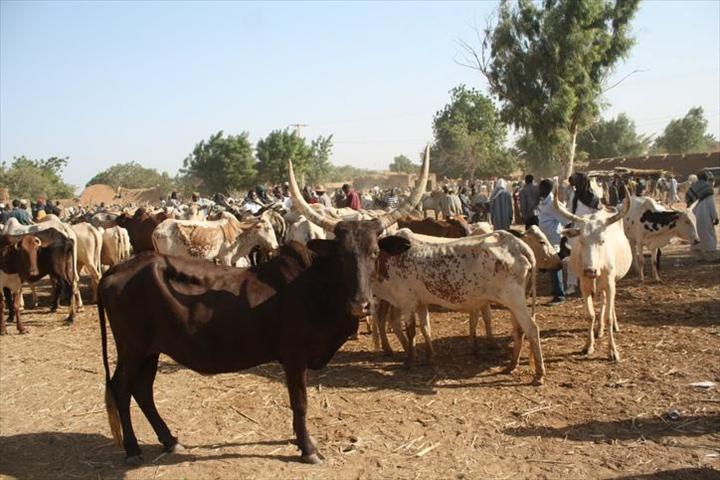 Vol de Bétail à Djibanar : 7 vaches emportées